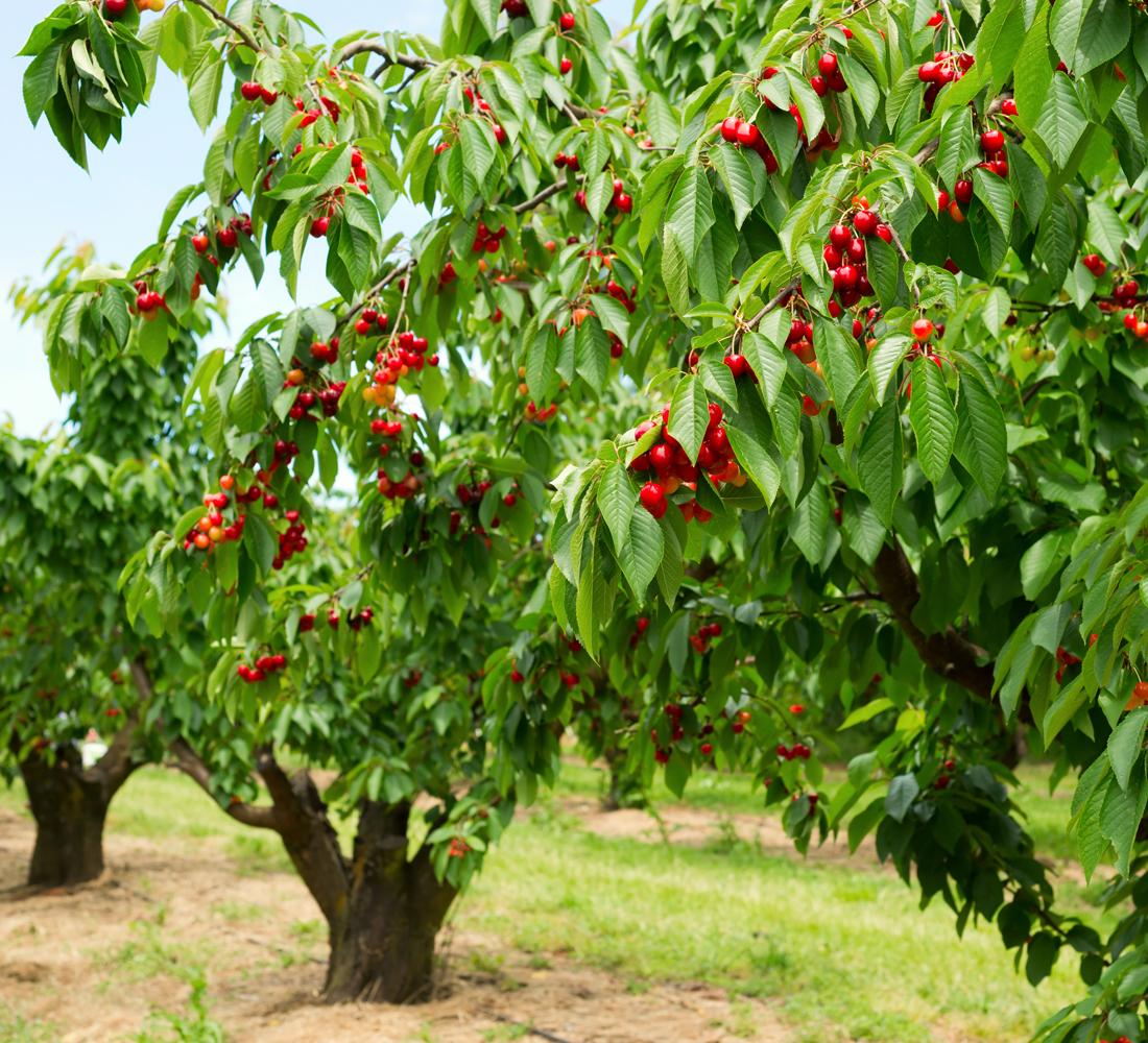 Certificazione Produzione Integrata - frutteti omogenei