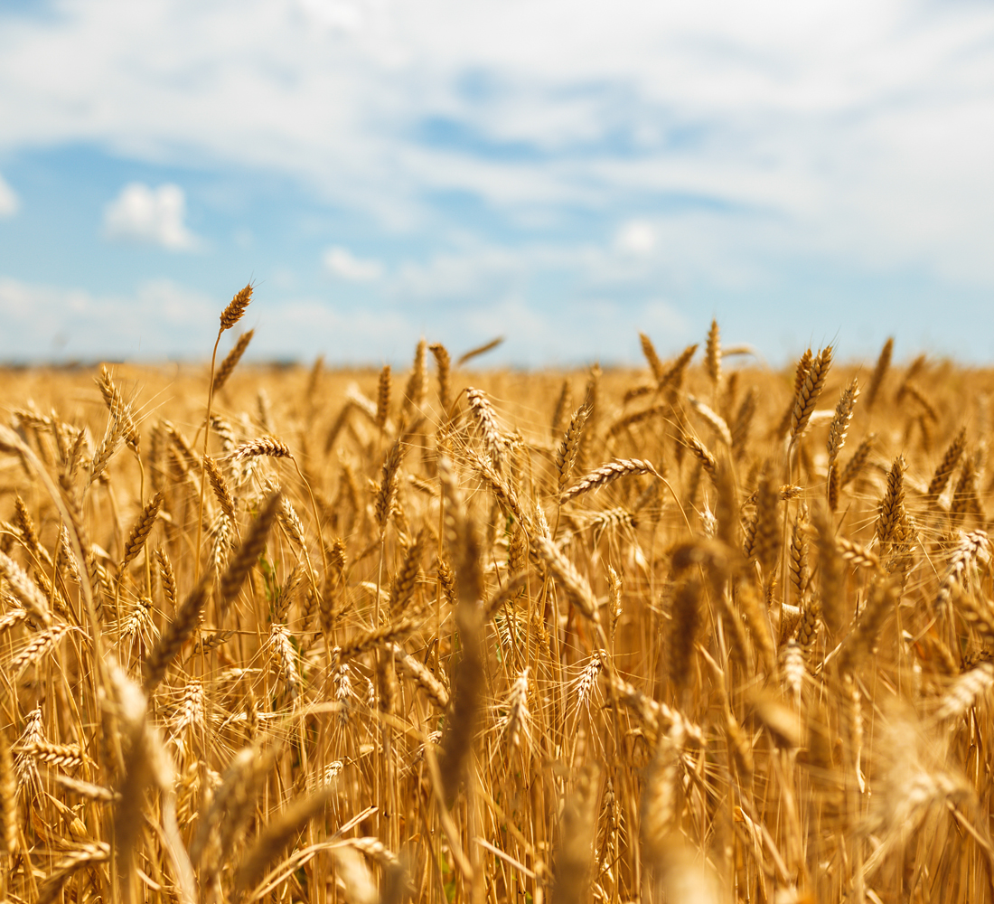 Produzione di qualità - Marchio Puglia - produzione di grano