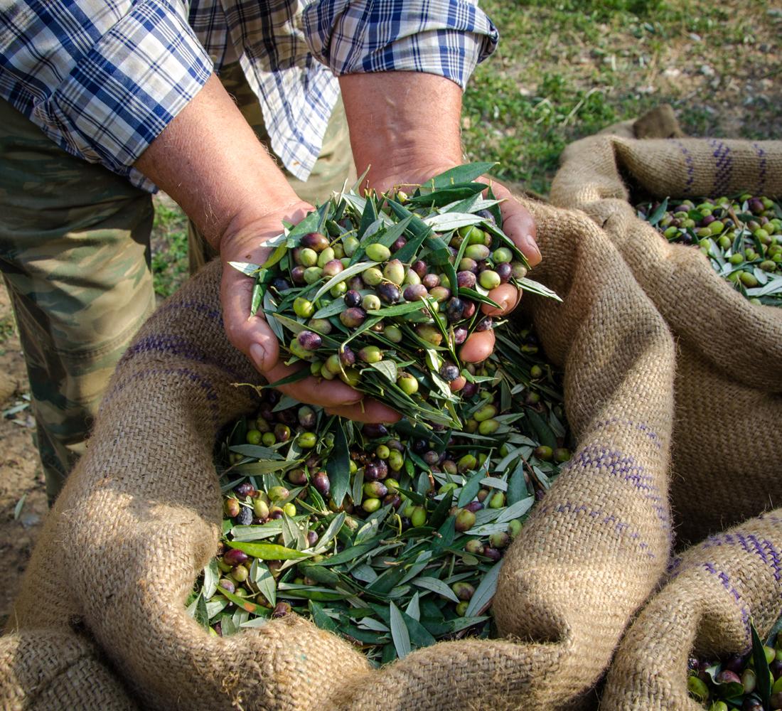 Produzione di qualità - Marchio Puglia - produzione di olive